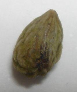 トウネズミモチ種子