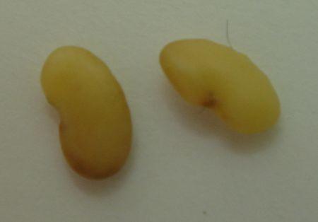 ウマゴヤシ種子