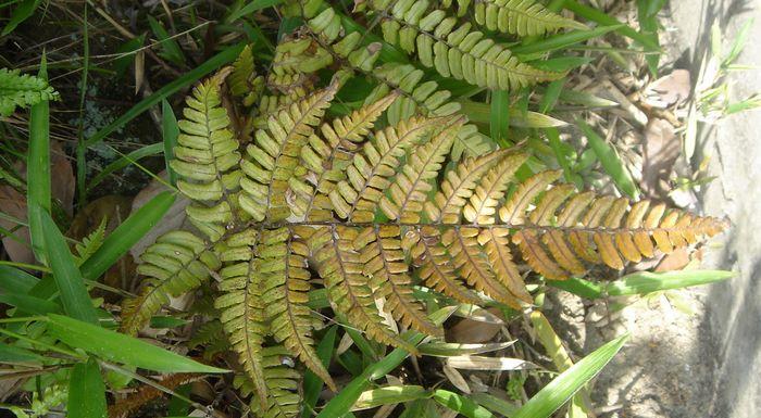 サイゴクベニシダ(オシダ科)