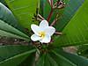 Plumeria2