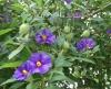 Solanum3